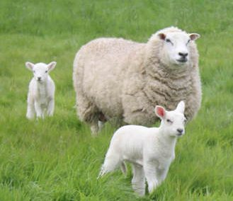Come and bottle feed the very cute spring lambs at Lower Keats this summer!